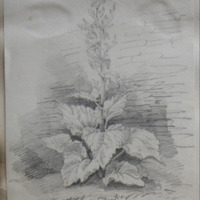 Rhubarb Plant in Mrs. Gaffney's Garden, Dunshaughlin, Co. Meath, 30 May 1859