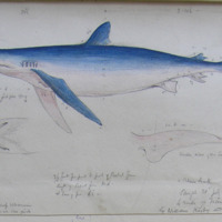 a Blue Shark caught 30th July 63 4 miles of Tramore Bay by William Kisby and crew; Geo: V. Du Noyer, 30th July 63; color of the back a deep ultramarine, rapidly shading off to a  delicate rose pink