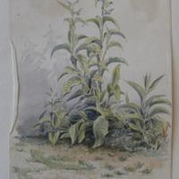 from our garden Walk at Enniscorthy, June 1862