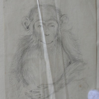Chimpanzee. Sketched from nature. GD