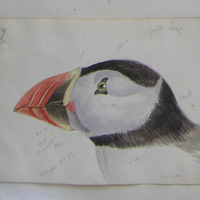 [puffin] found on shore of Grange ?great Bannow, April 26. 1850, Co. Wexford