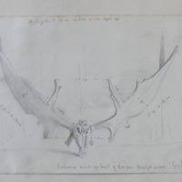 Posterior view of head of cervus megacerous. Geol. Soc Collection
