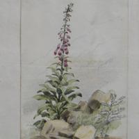 24 June 1852… Kildorrery Co. Cork [flower]
